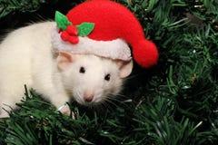 Una rata en un sombrero de la Navidad, un ratón de la Navidad Símbolo del nuevo 2020 en el calendario chino Año Nuevo y concepto