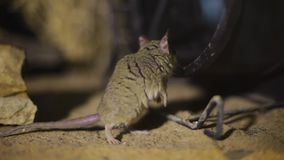Una rata encima de una roca almacen de metraje de vídeo