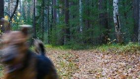Una raza Airedale Terrier del perro corre a lo largo de la trayectoria en el bosque conífero y del abedul almacen de video