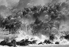 Una raza de ñus que emigran a través de Mara River fotos de archivo libres de regalías