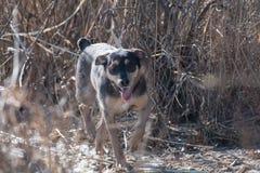 Una raza Liso-cabelluda de Jagdterrier del perro joven camina en una tarde soleada con una novia en una playa arenosa y una hierb imágenes de archivo libres de regalías