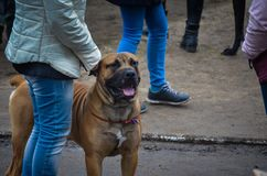 Una raza muy potente Cadebo del perro se coloca al lado del dueño Cuellos finos en un pecho potente, grande fotografía de archivo libre de regalías