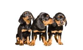 Una razza Hund slovacco di tre cuccioli Immagine Stock Libera da Diritti