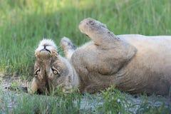 Una reclinación de la leona imagen de archivo libre de regalías