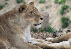 Una reclinación de la leona Fotos de archivo libres de regalías