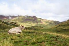 Una reclinación de la vaca Fotos de archivo libres de regalías