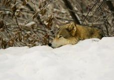 Una reclinación del lobo gris (lupus de Canis) fotografía de archivo