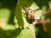 Una reclinación exterior de la abeja sobre una hoja en el tiempo del día de primavera Imagenes de archivo