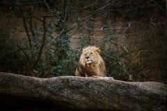 Una reclinación roja del león del varón adulto, mintiendo en una piedra en el parque zoológico de Basilea en Suiza en invierno en Imagen de archivo