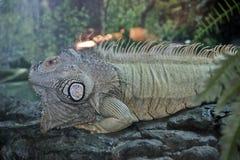 Una reclinación verde de la iguana imágenes de archivo libres de regalías