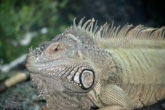 Una reclinación verde de la iguana fotografía de archivo libre de regalías