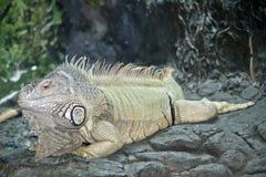 Una reclinaci?n verde de la iguana fotos de archivo
