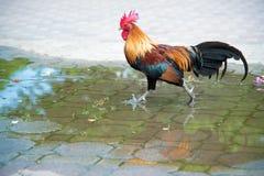 Una reflexión del gallo colorido en el parque Foto de archivo