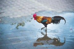 Una reflexión del gallo colorido en el parque Imagenes de archivo
