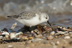 Una ricerca alba del Calidris sbalorditivo di Sanderling l'alimento lungo il litorale ad alta marea Fotografie Stock