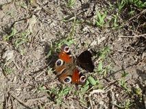 Una riunione di due farfalle differenti sulla terra fra la pianta Fotografia Stock Libera da Diritti