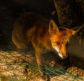 Una riunione di notturno con una volpe nel legno Fotografia Stock