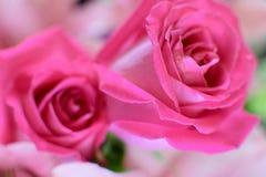 Una rosa è una rosa Fotografie Stock