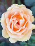 Una rosa Fotografie Stock