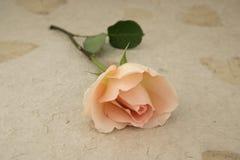 Una rosa Immagini Stock Libere da Diritti