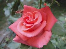 Una Rosa Fotografia Stock