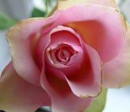 Una rosa Fotografía de archivo