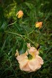 Una rosa amarilla del té, dos brotes con descensos en sus pétalos y muertos fotografía de archivo