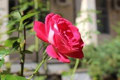 Una rosa búlgara del rojo a finales de la parte de septiembre en Blagoevgrad imagen de archivo libre de regalías