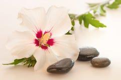 Una Rosa bella del fiore di Sharon all'indicatore luminoso Fotografie Stock Libere da Diritti