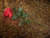 Una Rosa calpestata sulla terra Fotografia Stock