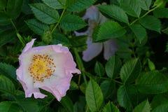 Una rosa canina del fiore Fotografia Stock