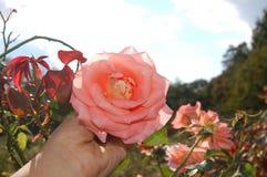 Una rosa rosa clara sostenida a disposición en un campo imagenes de archivo
