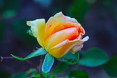 Una rosa del amarillo del otoño en el jardín de Rupite entre los ríos Bulgaria al sudoeste del estruma y de Stoumeshnitsa fotos de archivo