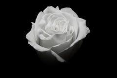 Una rosa del blanco en fondo negro Imagen de archivo