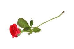 una rosa del rojo de la floración aislada en blanco Fotos de archivo