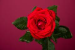 Una rosa del rojo en fondo magenta Foto de archivo