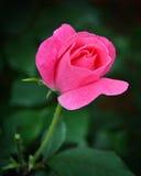 Una rosa del rosa contra las hojas verdes Imagen de archivo