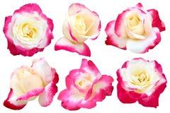 Una rosa di due toni isolata Immagine Stock