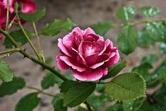Una rosa di porpora Fotografia Stock Libera da Diritti
