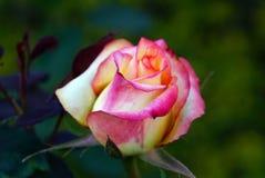 Una rosa rosa e gialla immagini stock libere da diritti