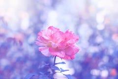 Una rosa elegante del rosa en un fondo azul Trabajo de arte Foco selectivo Foto de archivo libre de regalías