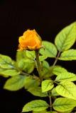 Una rosa fresca di giallo su un fondo nero Fotografia Stock