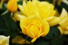 Una rosa gialla che comincia a fiorire fotografia stock