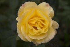 Una rosa gialla nella pioggia immagine stock