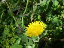 Una rosa gialla in un giorno soleggiato al villaggio Con la vista verde Immagine Stock