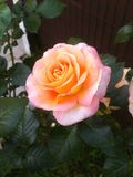 Una Rosa, il romantisme immagini stock
