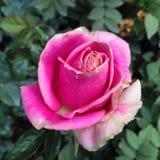Una rosa imperfetta di rosa Immagini Stock Libere da Diritti