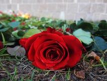 Una rosa para conmemorar caido Fotos de archivo