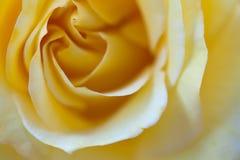 Una rosa perfecta del amarillo con la falta de definición selectiva perfecta para un saludo Fotos de archivo