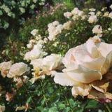 Una rosa può non confrontare mai immagine stock libera da diritti